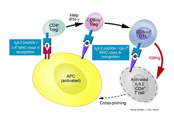 A negative-feedback regulatory mechanism involving CD4+ and CD8+ Tregs r...