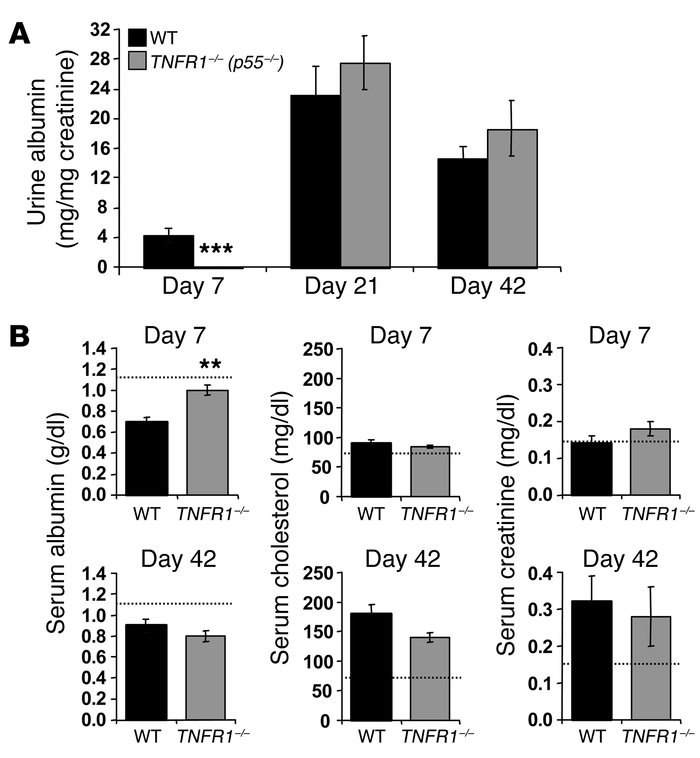 TNFR1-deficient mice are protected from nephritis at day 7 but not at da...