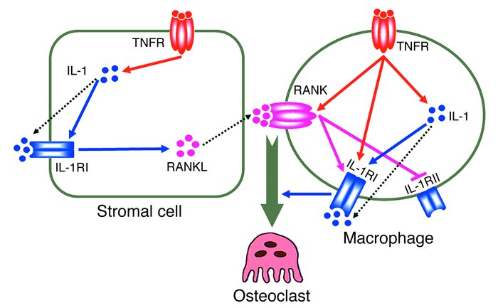 Mechanisms of TNF-induced osteoclastogenesis. As detailed in the text, T...