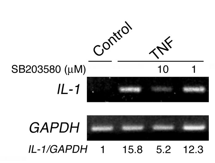 TNF stimulates IL-1 gene expression by osteoclast precursors in a p38-de...