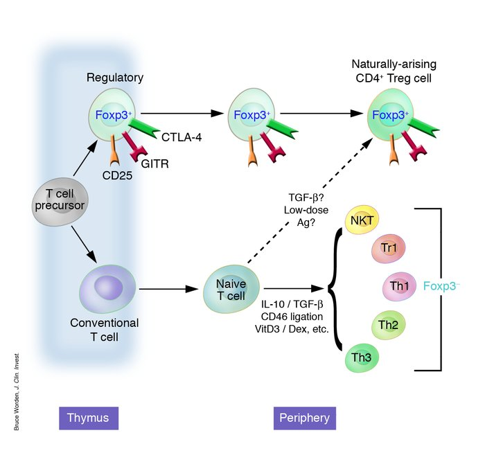 Regulatory CD4+ cells can develop in a number of ways, although the mech...
