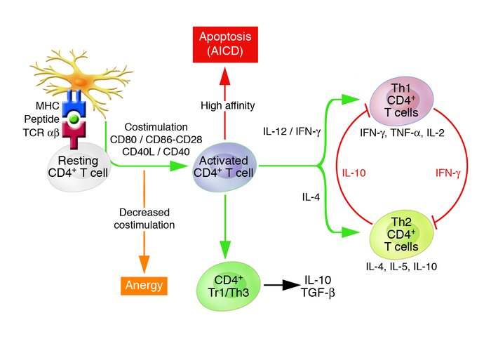 Homeostatic control of the outgrowth of antigen-activated CD4+ T cells. ...