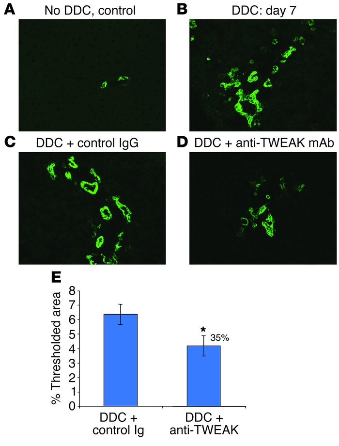 TWEAK pathway blockade in DDC-fed mice inhibits the proliferation of A6-...