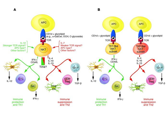 Schematic outline as to how NKT cells influence the immune response in e...