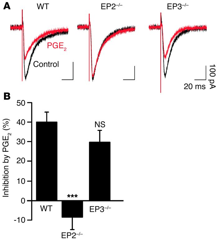 Effects of PGE2 on glycinergic inhibitory neurotransmission in the spina...