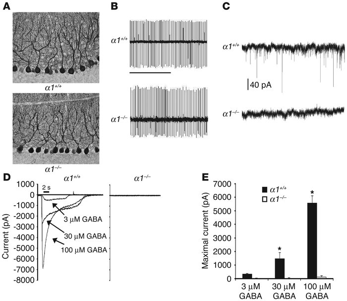 GABAA receptor α1–/– mice exhibit normal Purkinje cell number and morpho...
