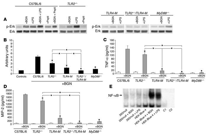 Absence of BGN-mediated stimulation of ERK, TNF-α, and MIP-2 in TLR2–/–/...