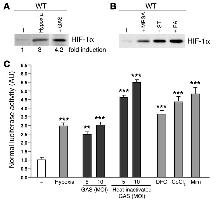 Bacteria increase HIF-1α protein expression and stimulate HIF-1α transcr...