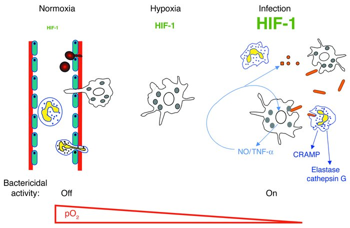 Model for the role of HIF-1α in myeloid cell innate immune function. Bac...