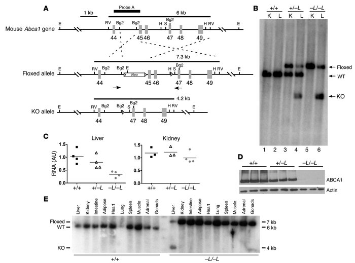 Targeting strategy and genotypic analysis of liver-specific Abca1-knocko...