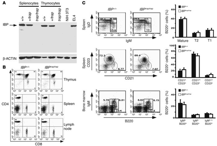 Lymphocyte development in IBPtrap/trap mice. (A) IBP protein expression ...