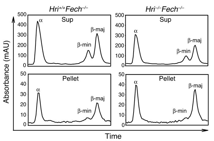 Inclusions in Hri–/–Fechm1Pas/m1Pas rbcs are composed of both α- and β-g...