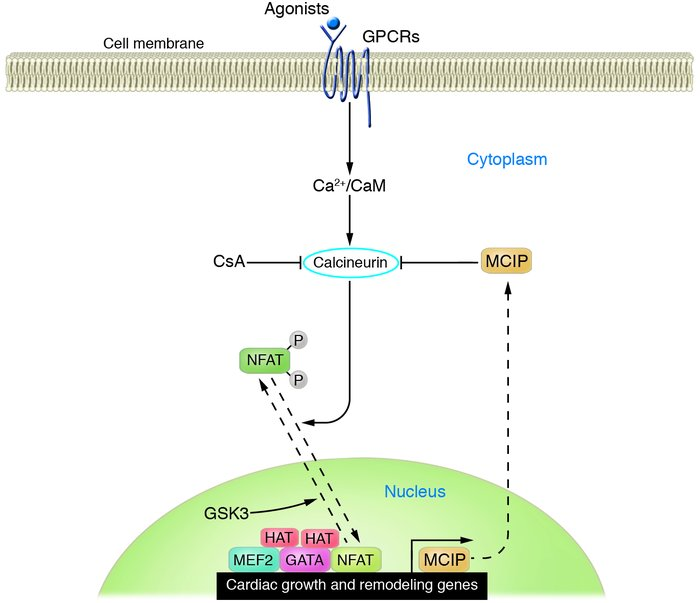 Signal-dependent modulation of cardiac genes and hypertrophy by calcineu...