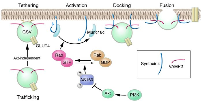 Insulin-stimulated GLUT4 translocation in adipocytes can be broken down ...