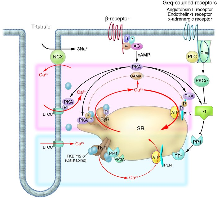 Intracellular Ca2+ cycling and associated signaling pathway in cardiomyo...