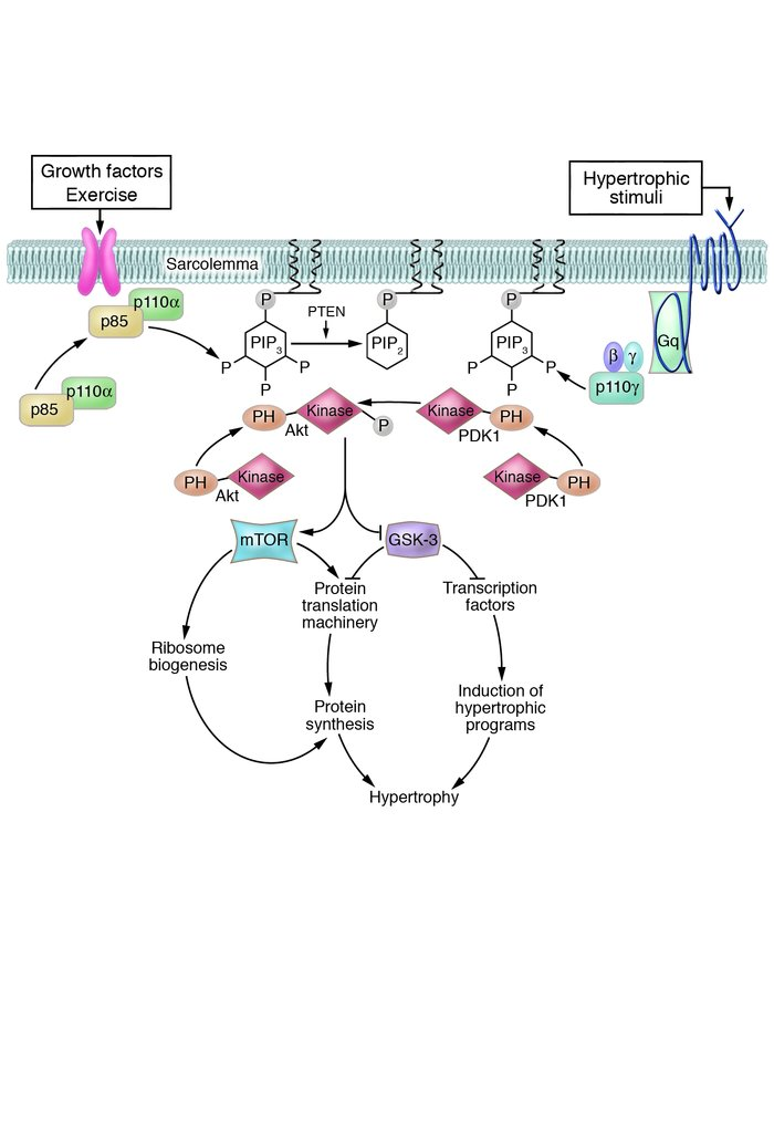 Mechanisms of activation of PI3K/Akt signaling in adaptive versus malada...