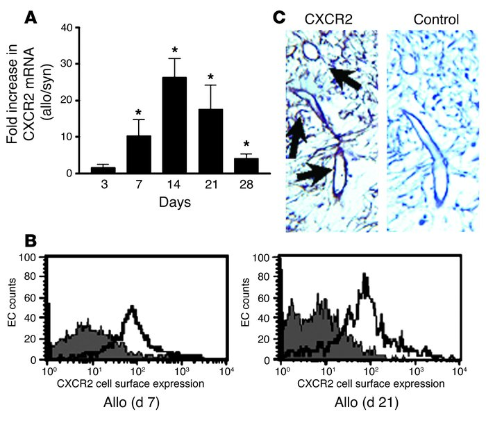 Endothelial cells have a marked increase in CXCR2 expression during the ...