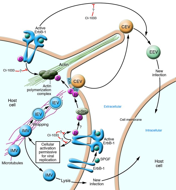 Possible mechanism for SPGF-dependent pathogenesis of variola virus and ...