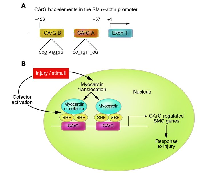 Regulation of CArG-specific SMC genes. (A) CArG box elements in the SM α...