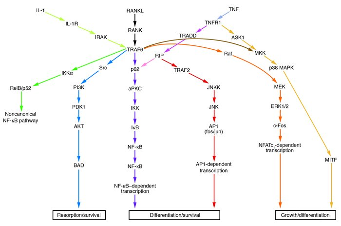 Signaling pathways involved in osteoclast formation and activity. When R...