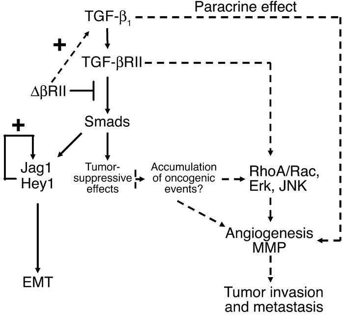 Schematic depicting the potential mechanisms of uncoupling TGF-β1–mediat...