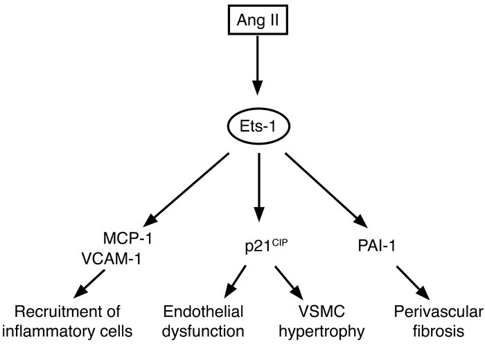 Schematic of Ang II–mediated effects via the Ets-1 transcription factor.