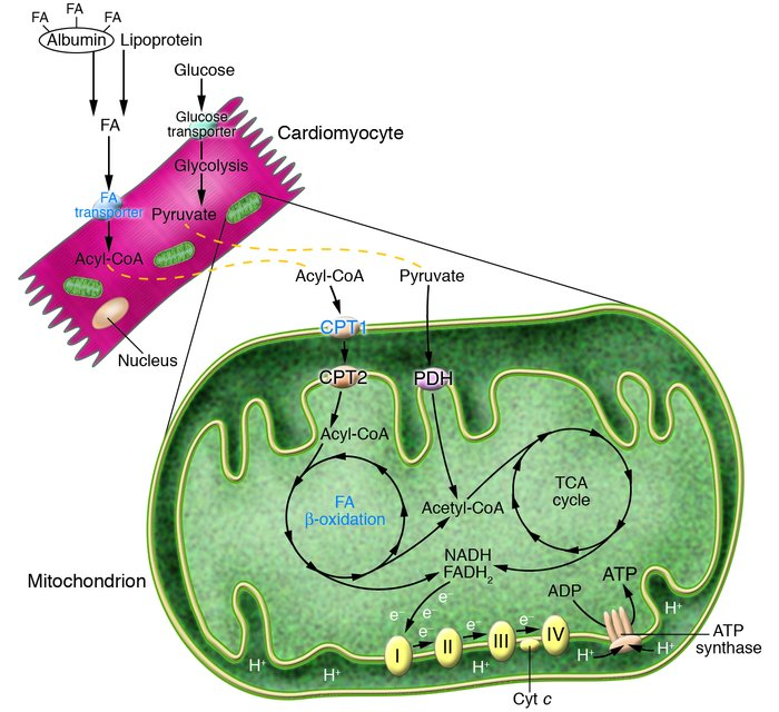 Pathways involved in cardiac energy metabolism. FA and glucose oxidation...