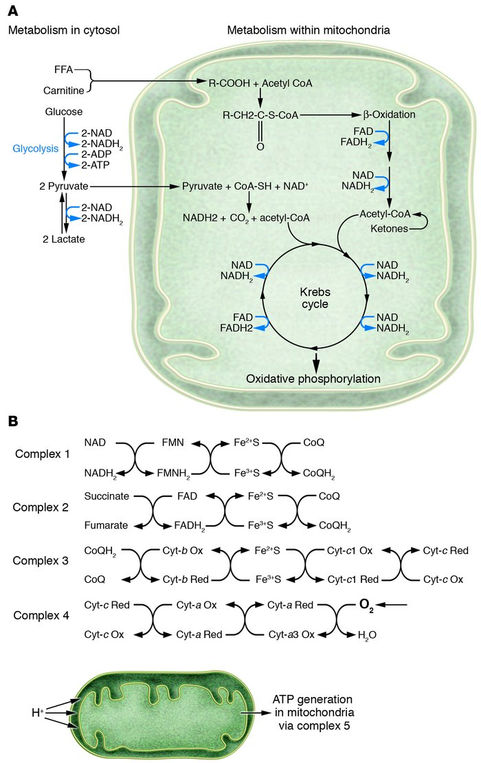 Role of oxygen in myocardial metabolism. (A) Schematic depiction of the ...