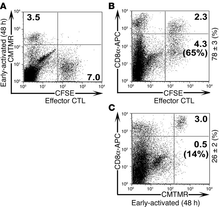 Effector CD8+ T cells but not early-activated CD8+ T cells transmigrate ...