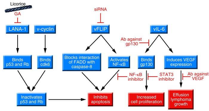Mechanisms of action of KSHV latency proteins expressed in PEL cells and...