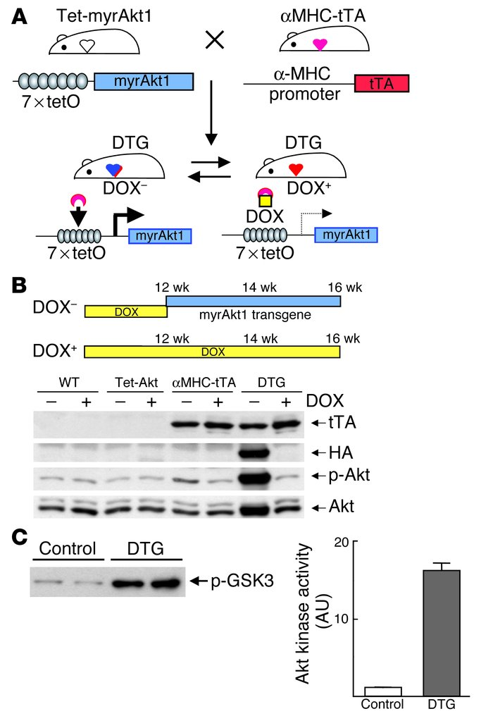Generation of cardiac-specific inducible Akt1–Tg mice. (A) Schematic ill...