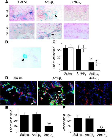 Integrin α4β1 promotes stem cell homing from the bone marrow. (A) Cryose...