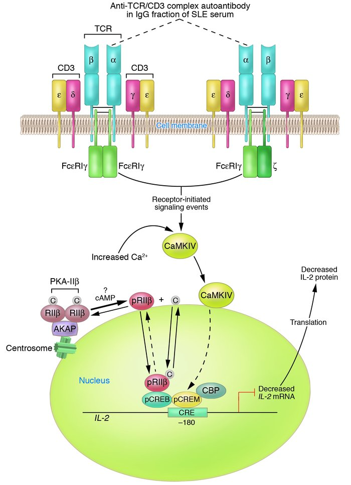 Jci Altered Regulation Of Il 2 Production In Systemic Lupus