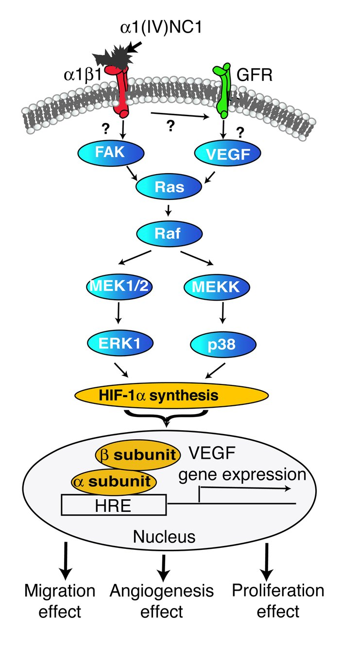 Schematic illustration of signaling pathway mediated by α1(IV)NC1. α1(IV...