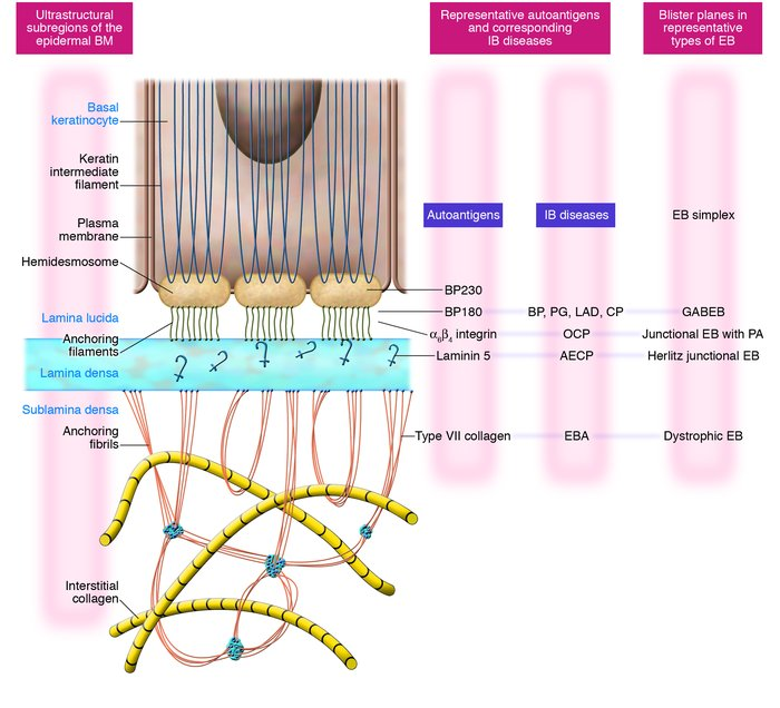 Schematic model of the epidermal BM. The major subregions of epidermal B...