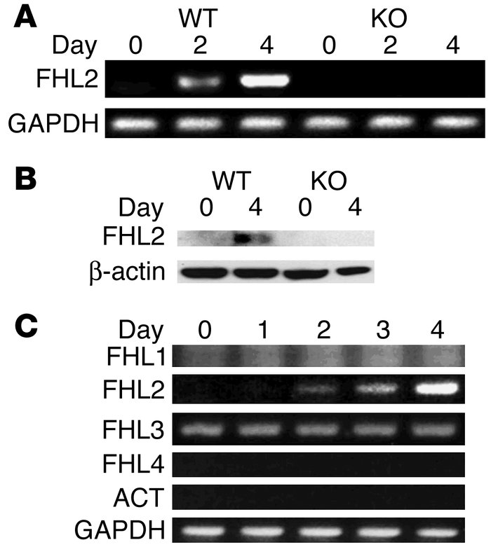 FHL2 is induced during osteoclastogenesis. (A) WT and FHL2–/– (KO) BMMs ...