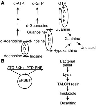 Role of PNP in purine metabolism and the production of TAT-PNP. (A) PNP ...