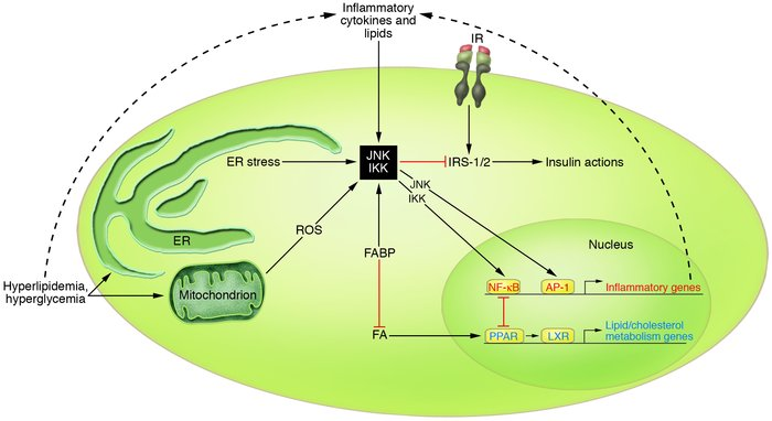 Model of overlapping metabolic and inflammatory signaling and sensing pa...