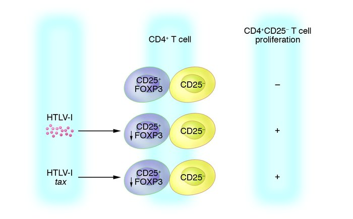 CD4+CD25+ Tregs limit the proliferation of stimulated CD4+CD25− T cells....