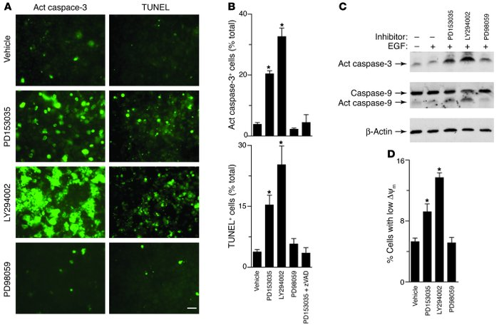 Effect of EGFR signaling pathways on apoptosis in airway epithelial cell...