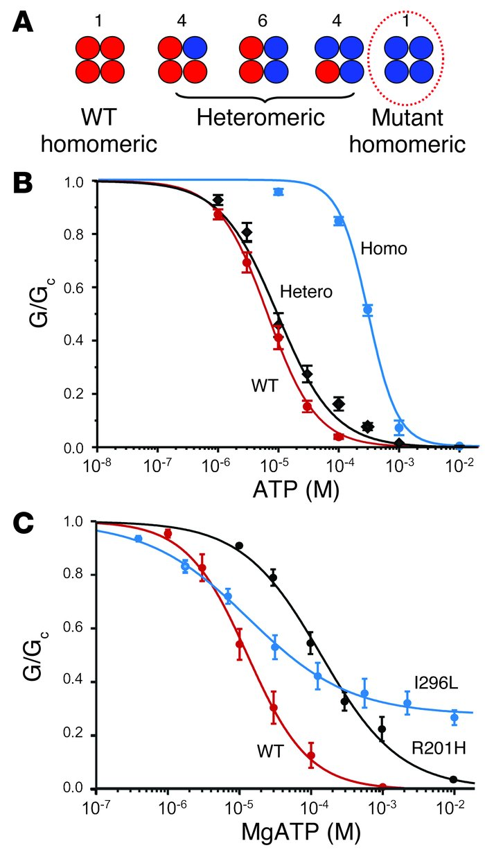 PNDM mutations reduce channel inhibition by ATP. (A) Schematic of the mi...