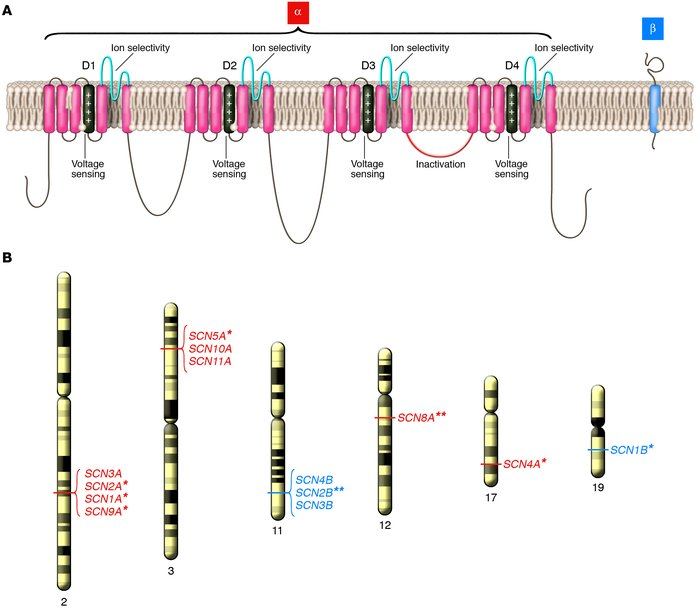 Structure and genomic location of human NaVChs. (A) Simple model represe...