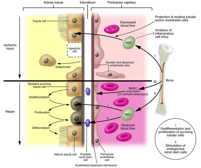 Potential roles of bone marrow–derived cells in renal protection/repair....