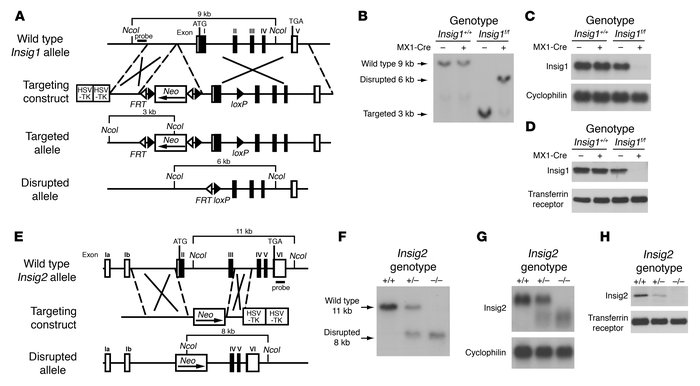 Targeted disruption of Insig1 and Insig2 genes in mice. (A) Schematic of...