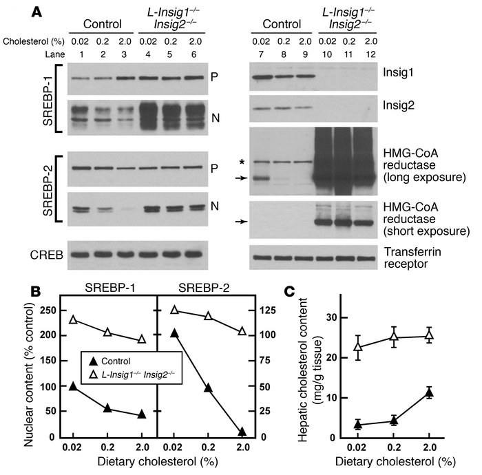 Markedly elevated levels of nSREBPs and HMG-CoA reductase in the livers ...