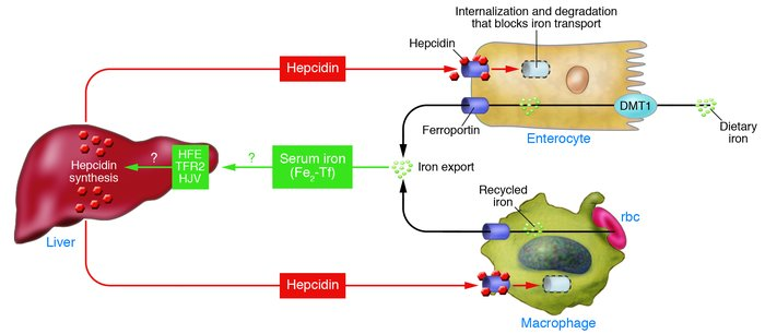 Regulation of systemic iron homeostasis. Increased diferric transferrin,...