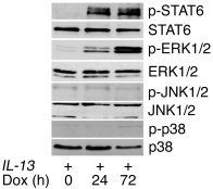 Effect of IL-13 on MAPK activation. Western blots for phosphorylated (p)...
