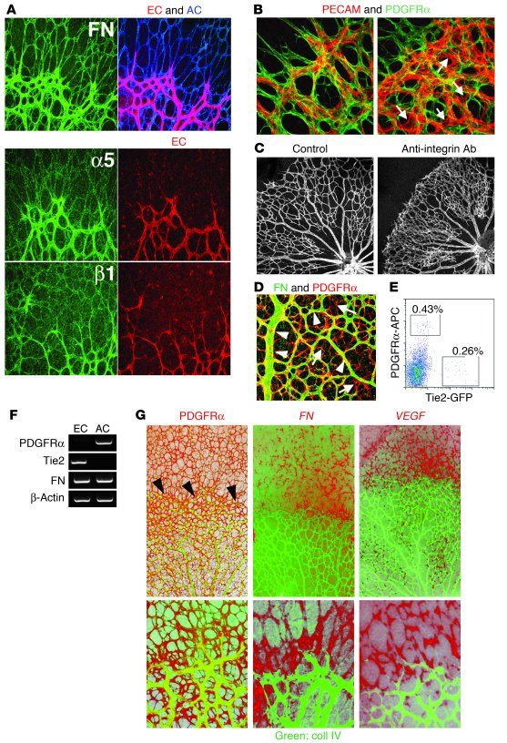 Formation of fibronectin-matrix scaffolds in proangiogenic astrocytes. (...