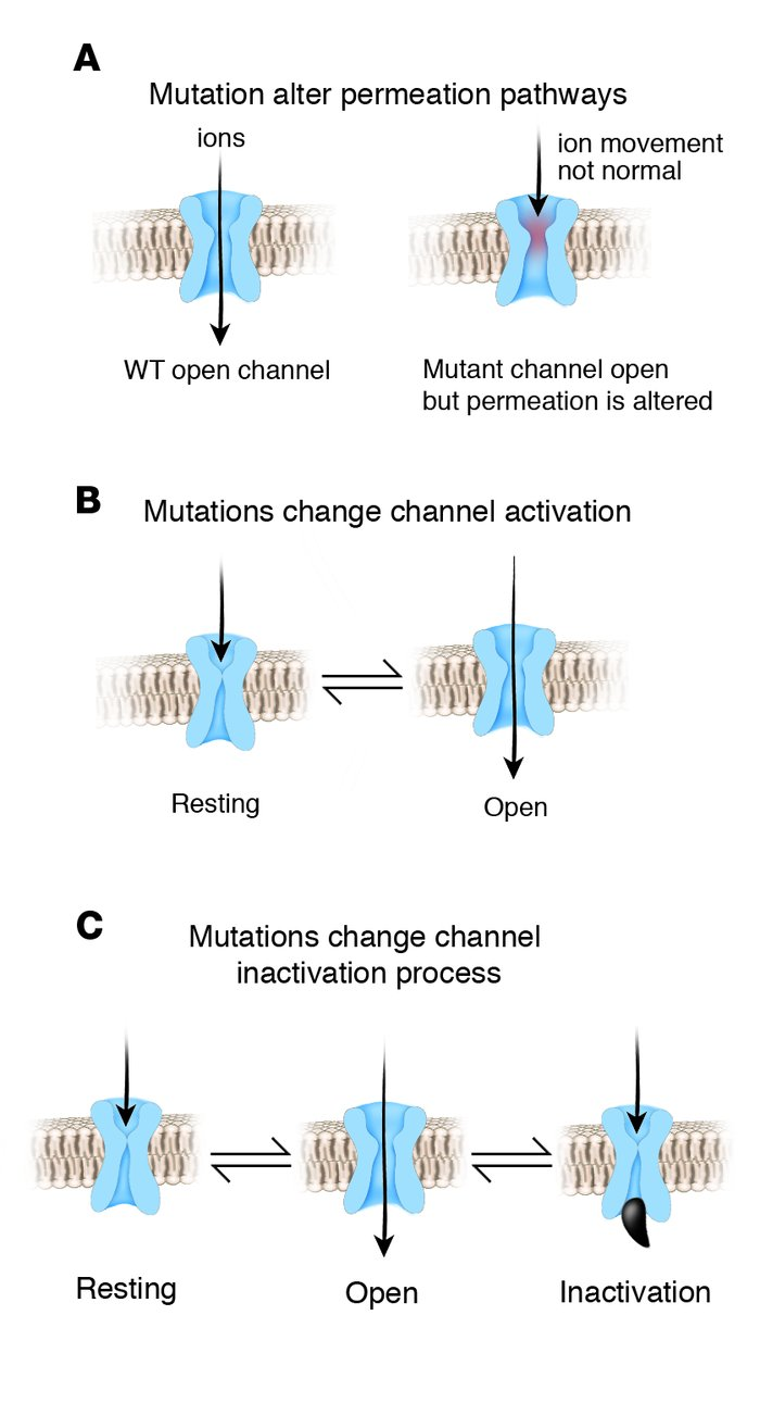 Inherited mutations alter ion channel function and structure and cause h...