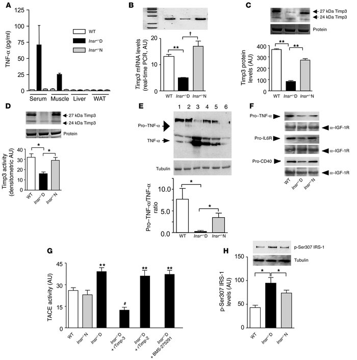 Timp3 expression and activity in skeletal muscle of Insr+/–mice. (A) Qua...